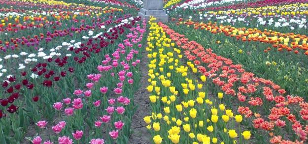 lalele in gradina Botanica Iasi